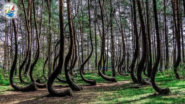 خبر جنگل های منحنی با معما های حل نشده در لهستان