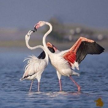 خبر فلامینگوهای دریاچه ارومیه