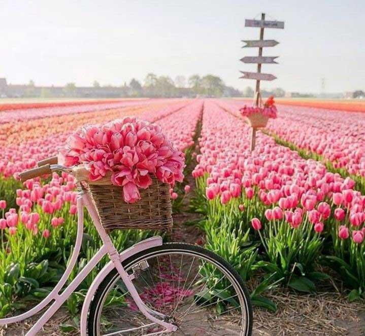 خبر کشور هلند با دارا بودن بیش از 10000 هزار هکتار باغ گل بزرگترین صادر کننده گل